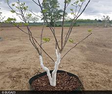 Im Mai 2021 wurden vier Kaukasische Flügelnüsse im östlichen Teil der neu entstehenden Parkschale Käfertal gepflanzt.